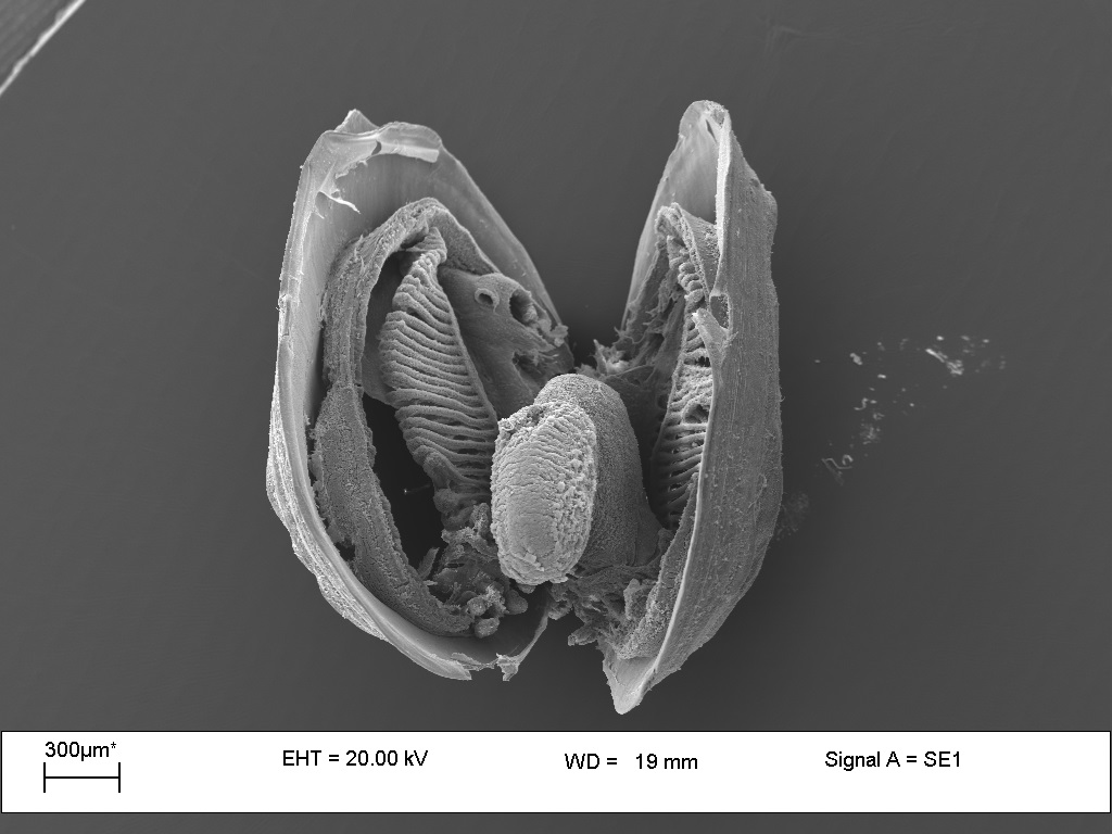 Photo of Freshwater Mussell taken with SEM