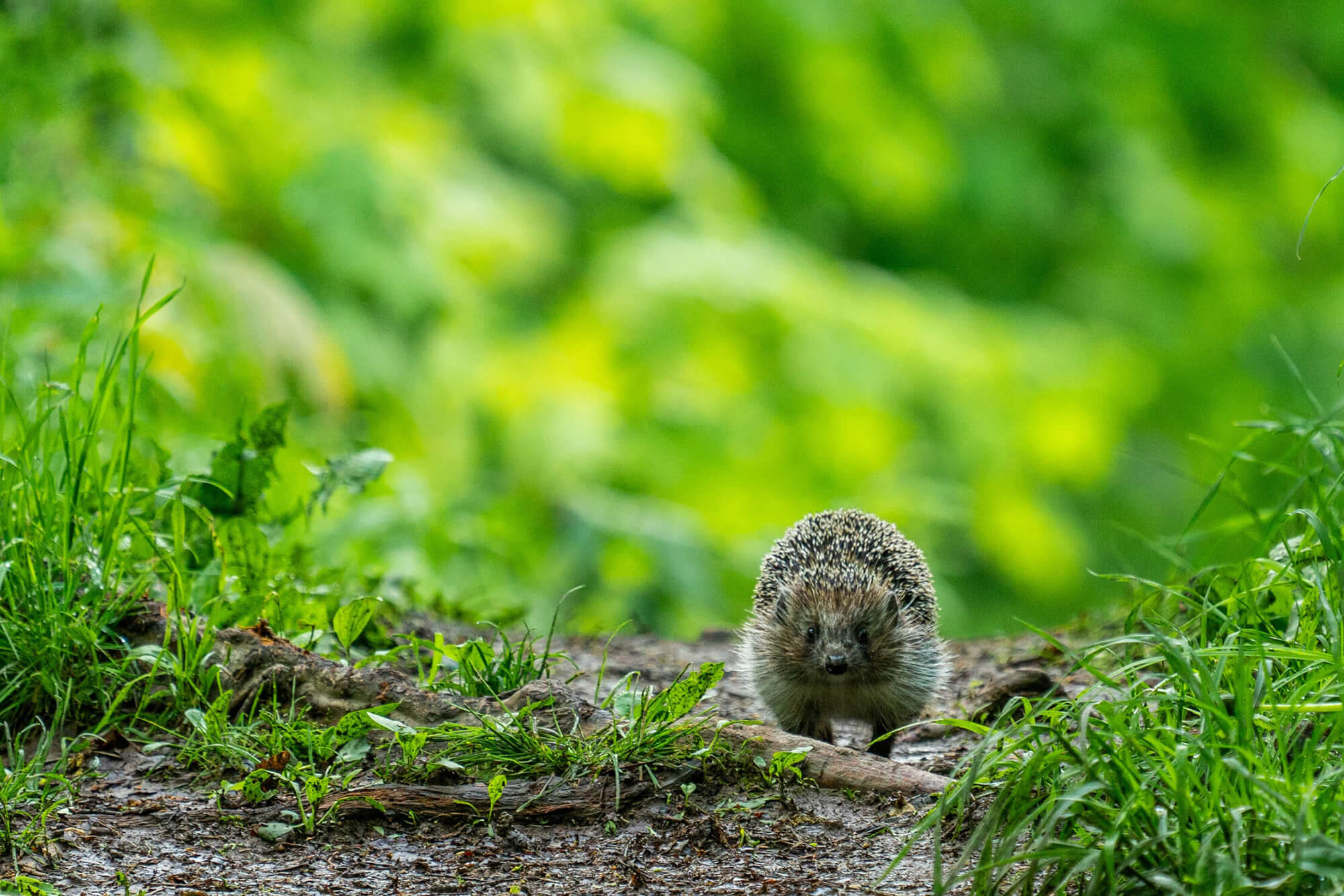 Hedgehog amongst grass