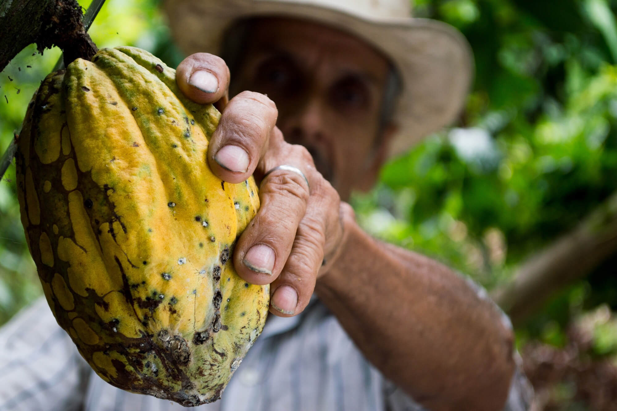 A man picking a cacao or cocoa fruit
