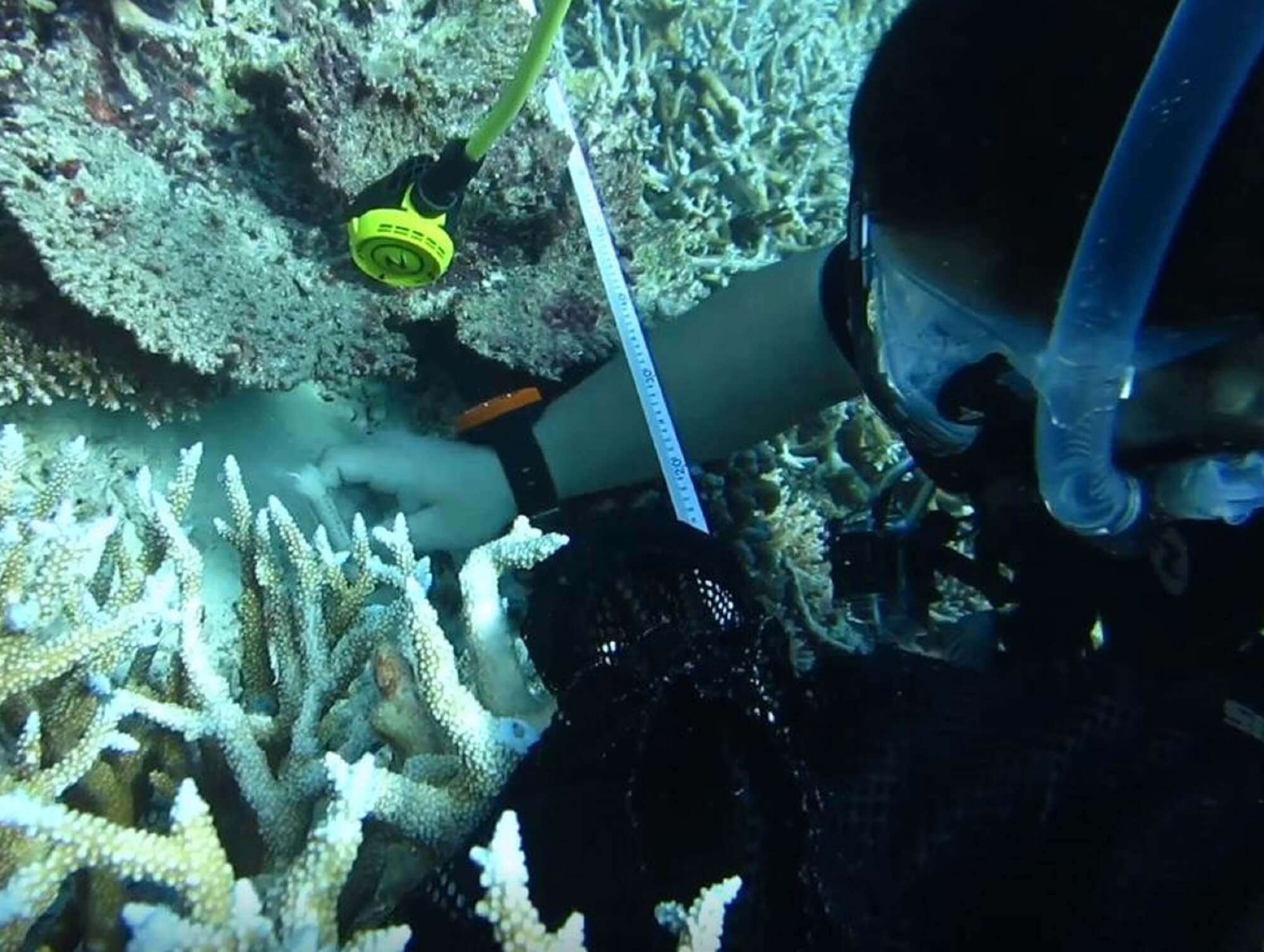 researcher with diving gear measuring coral underwater