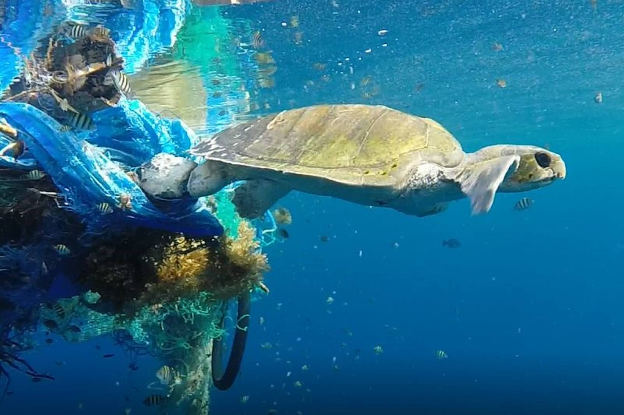 Film of turtle caught in abandoned fishing net