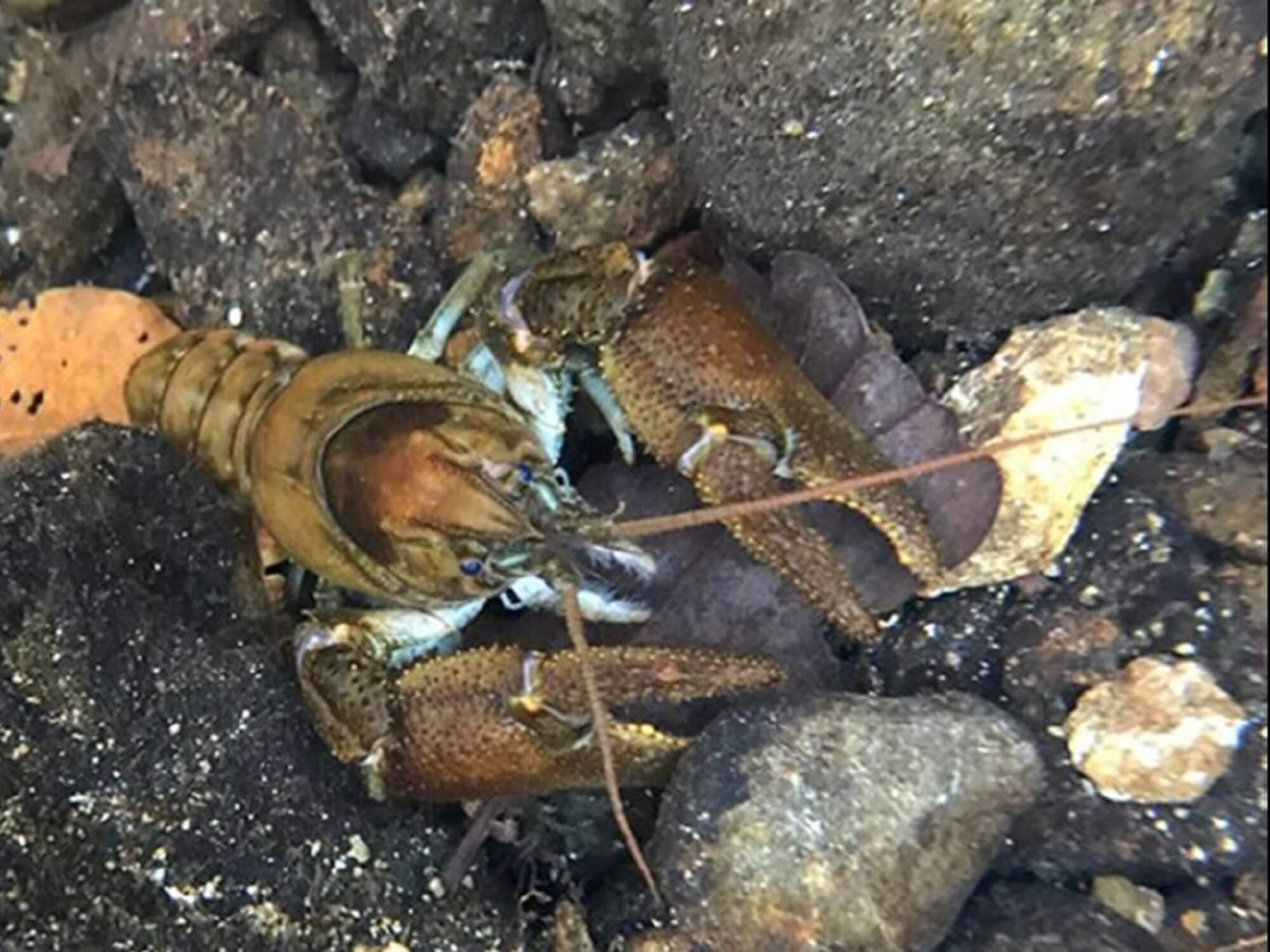 Crayfish pictured in natural habitat