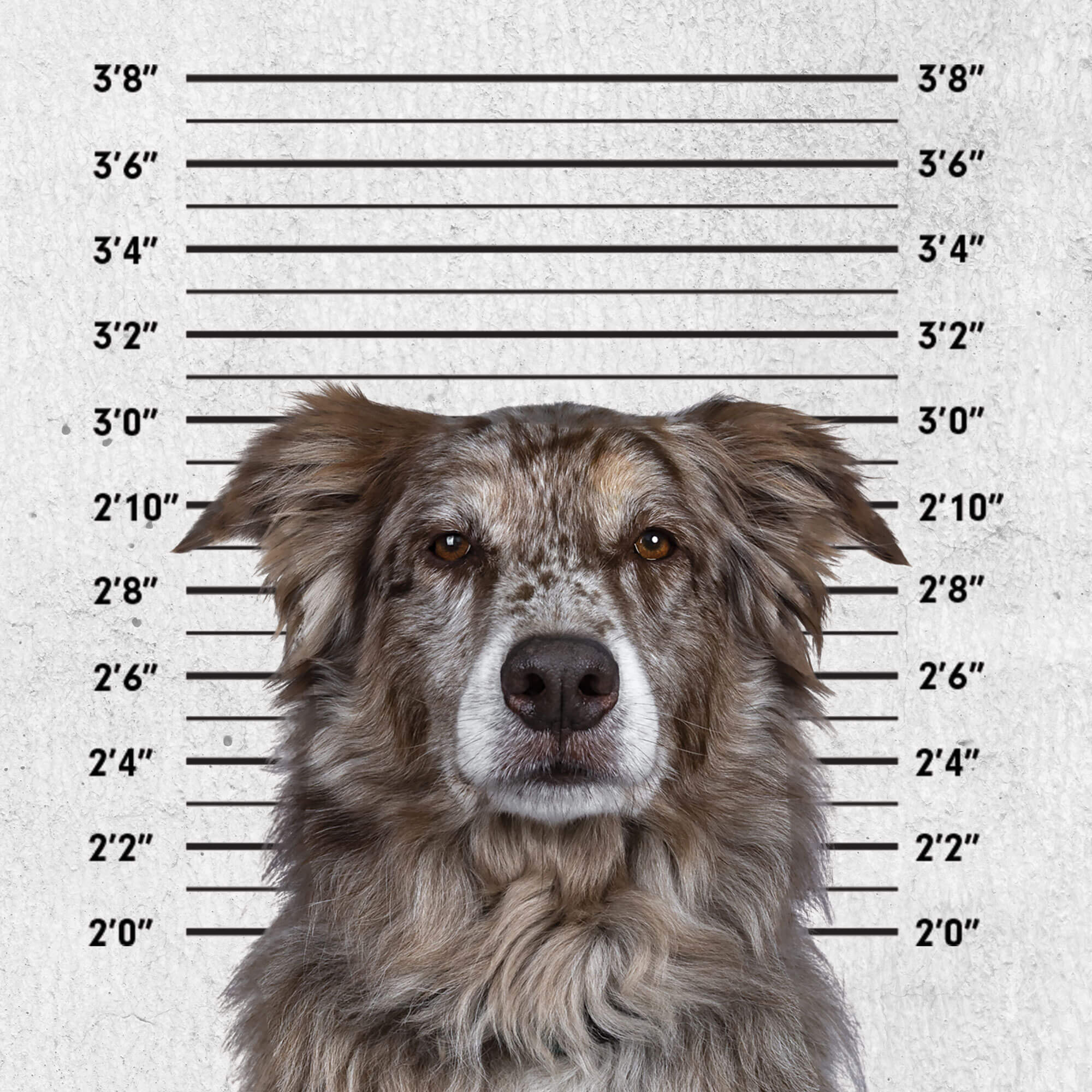 Mugshot of dog in front of a prison height chart