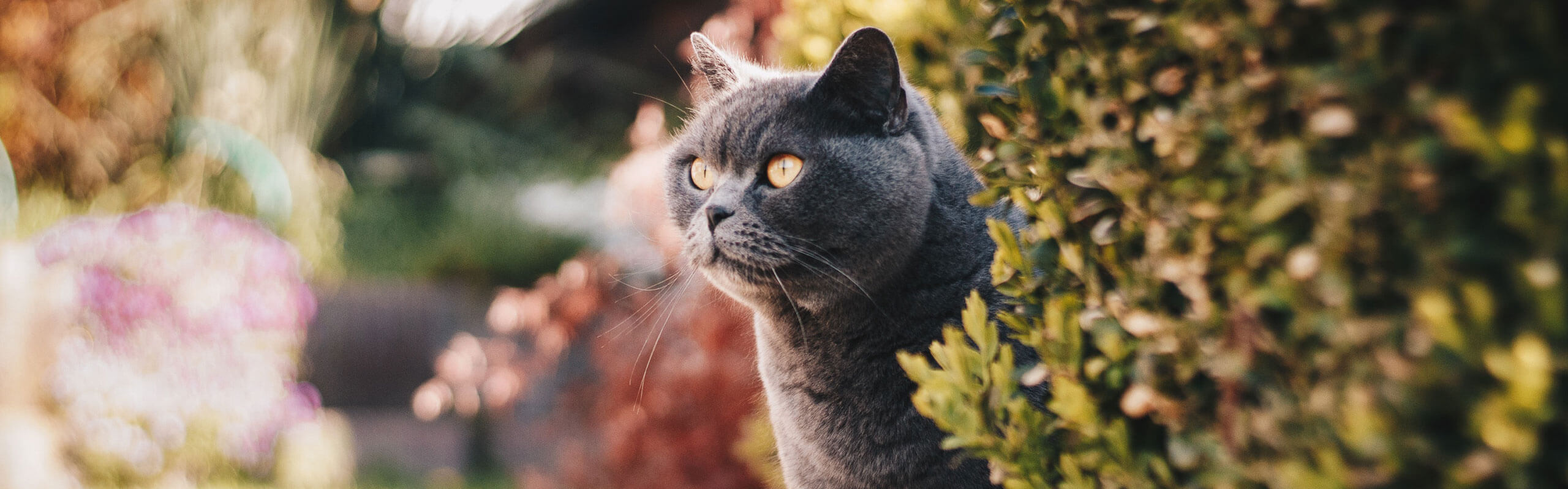 Grey cat sat next to a bush