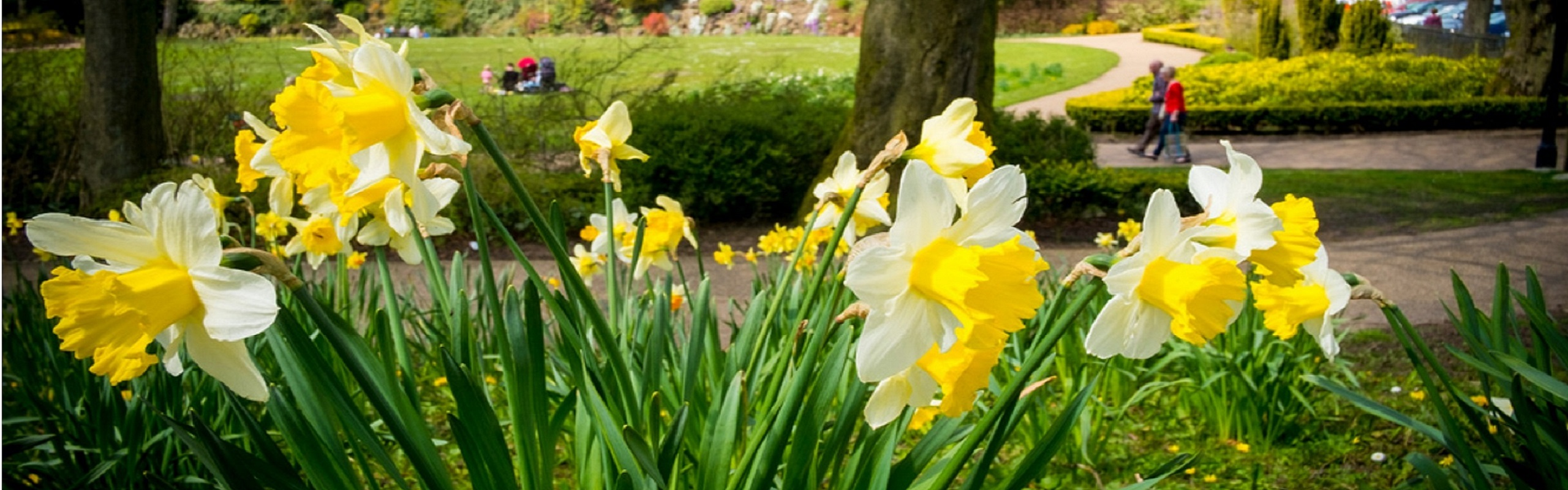 daffodils blooming in a park