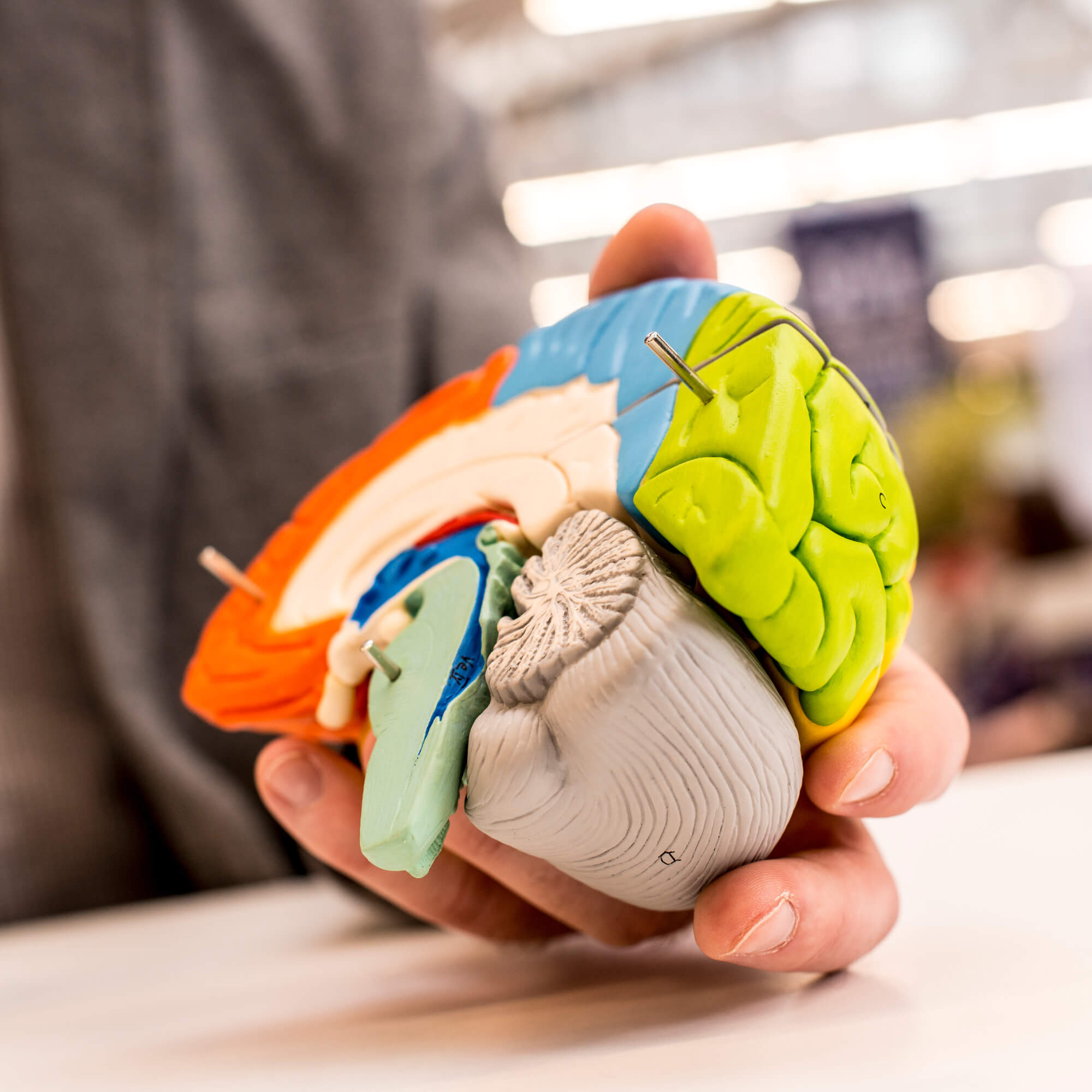 A hand holding a plastic mode of a brain