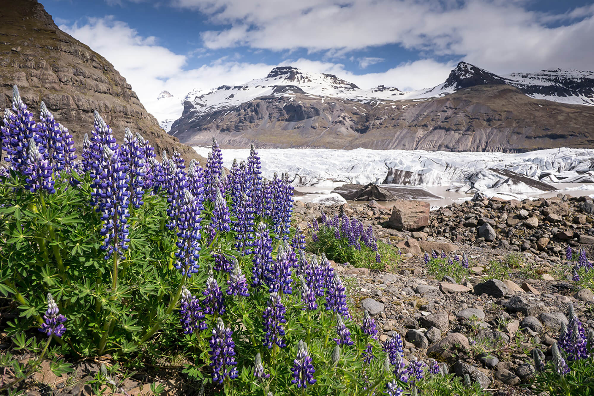Lupins colonising the barren land left by a receding glacier