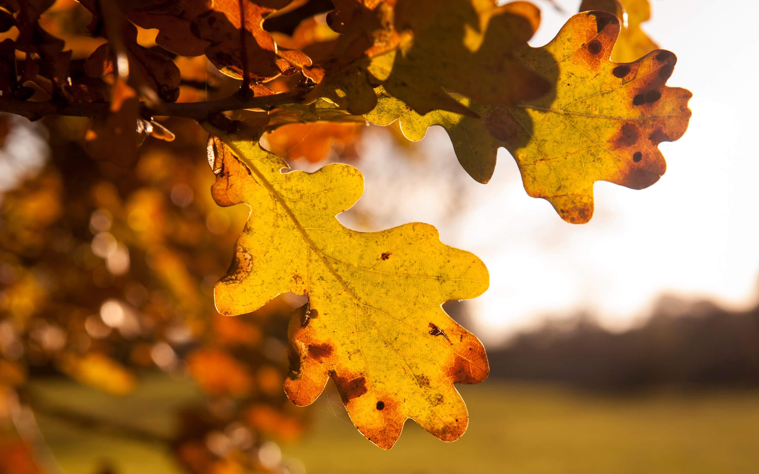 An oak tree leaf in autumn