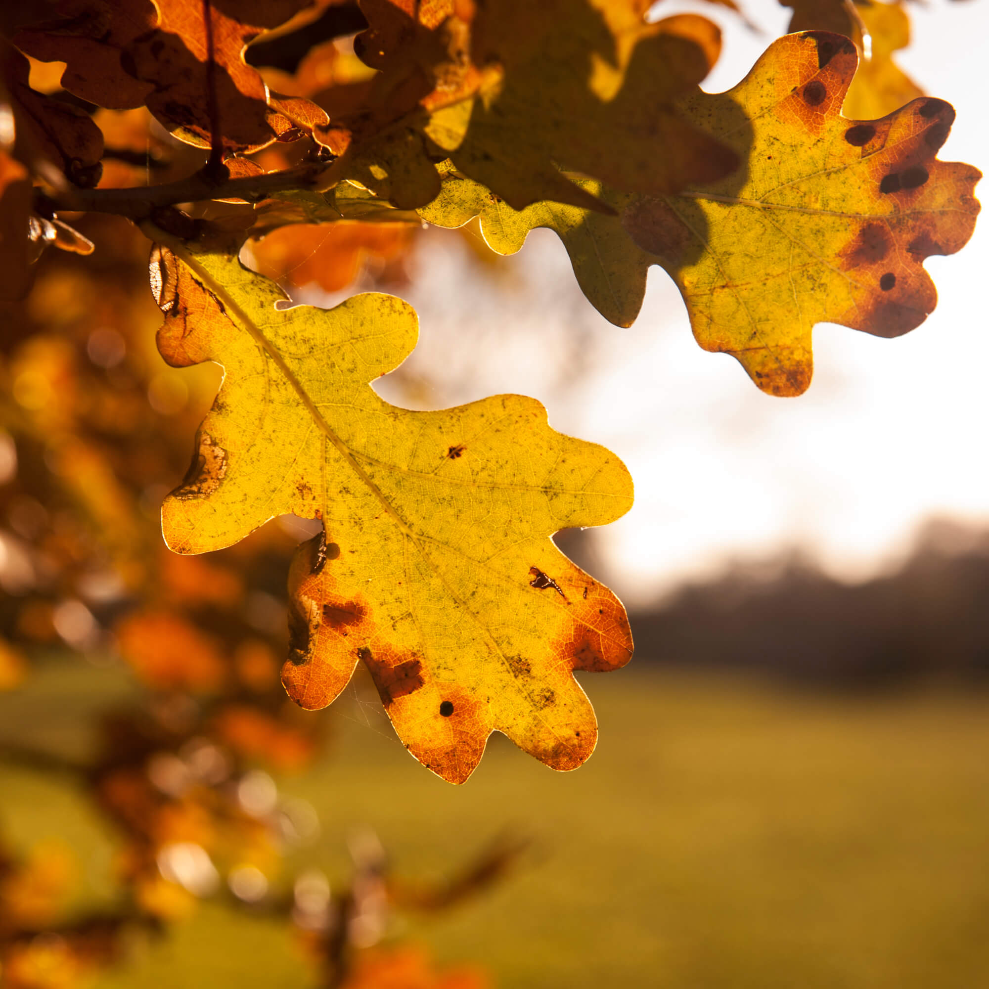 An leaf turning brown on an oak tree
