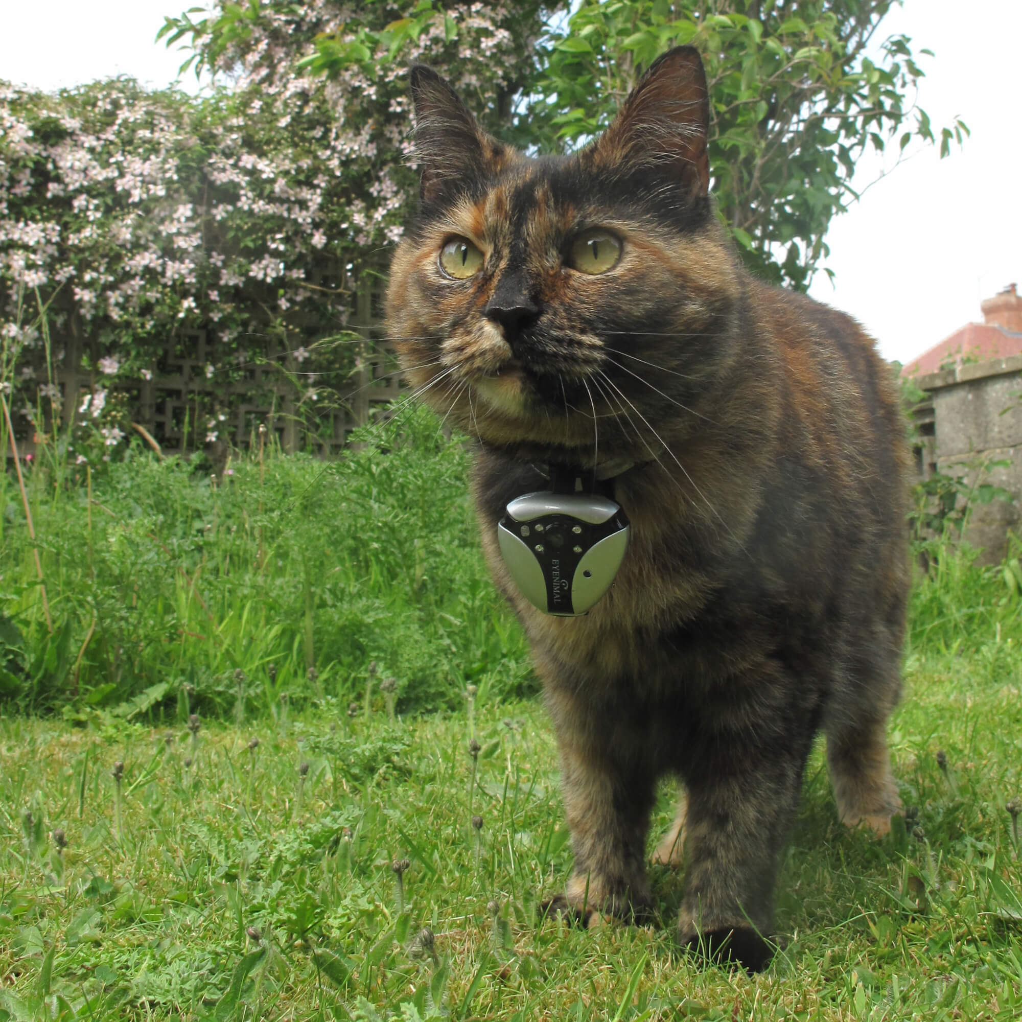 Treacle the cat wearing a collar camera