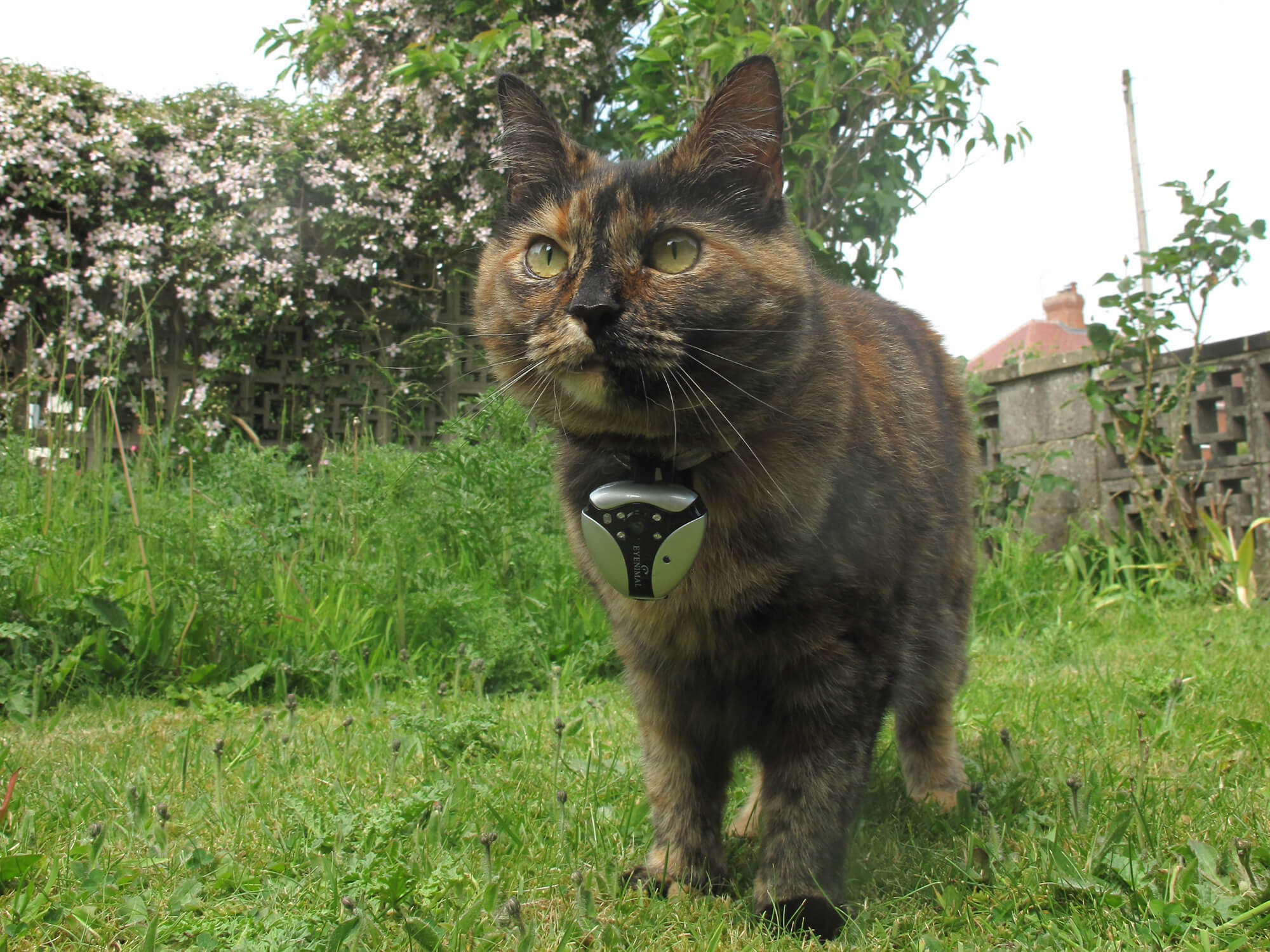 Treacle wearing a camera on her collar