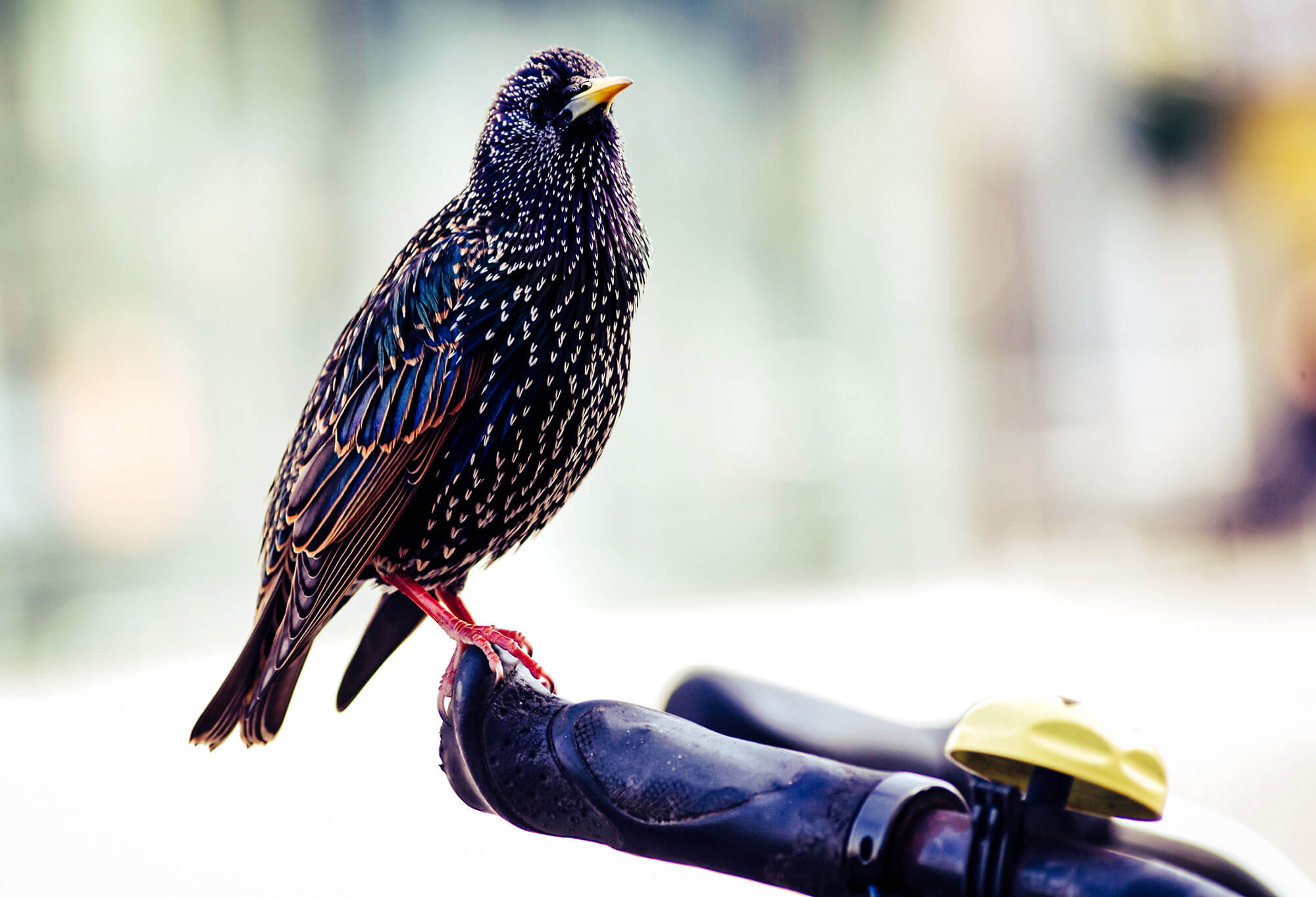 Close up of a Starling bird perched on the handlebars of a bicycle