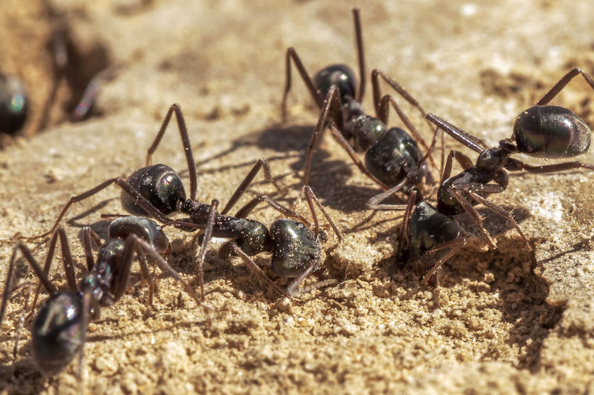 ants excavating a biocrust