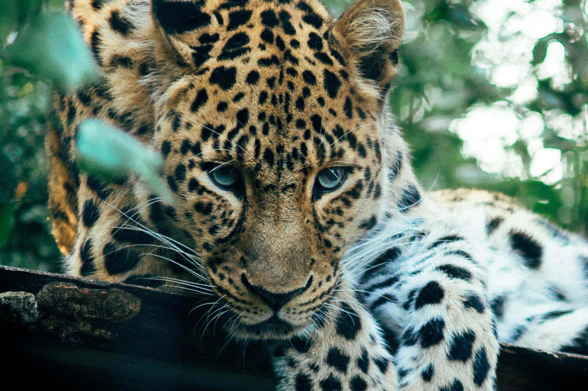 close up of a jaguar