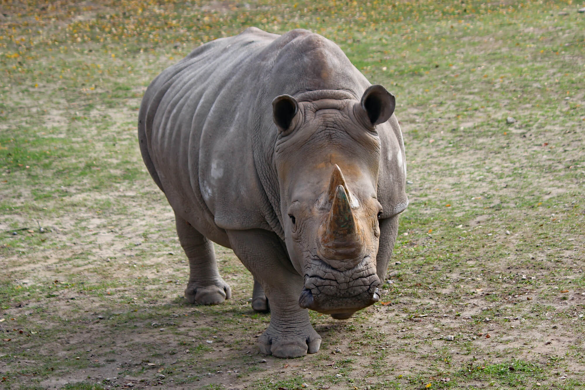 Rhino walking over grass