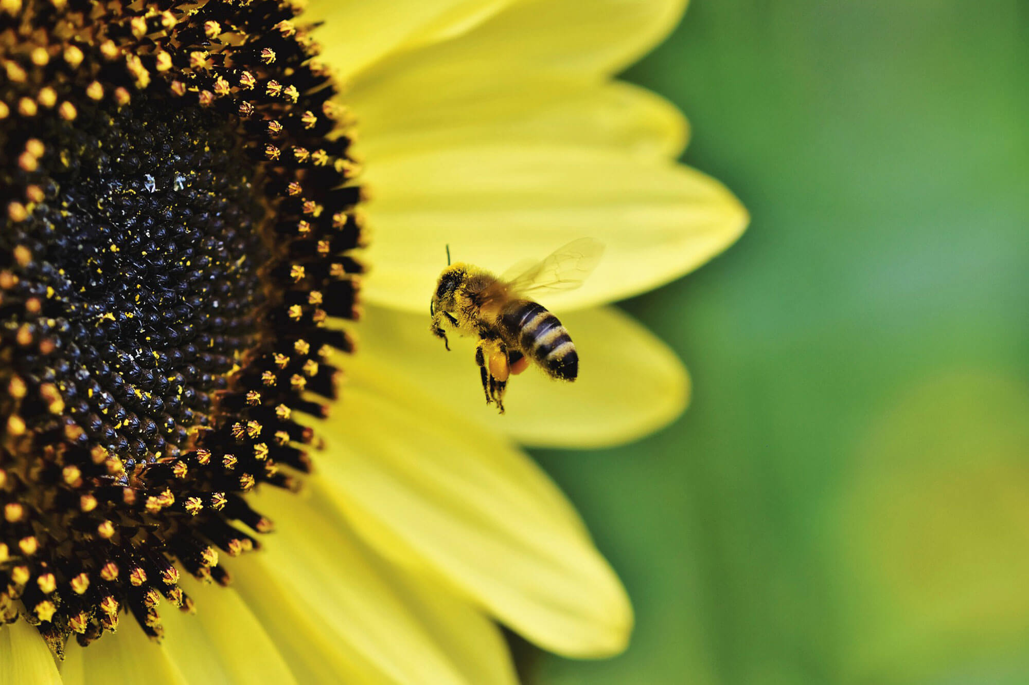 Bee flying towards a sunflower