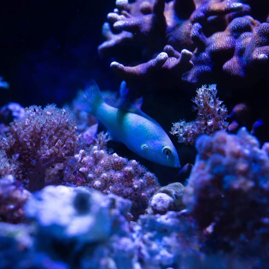 A fish swimming in a coral reef.
