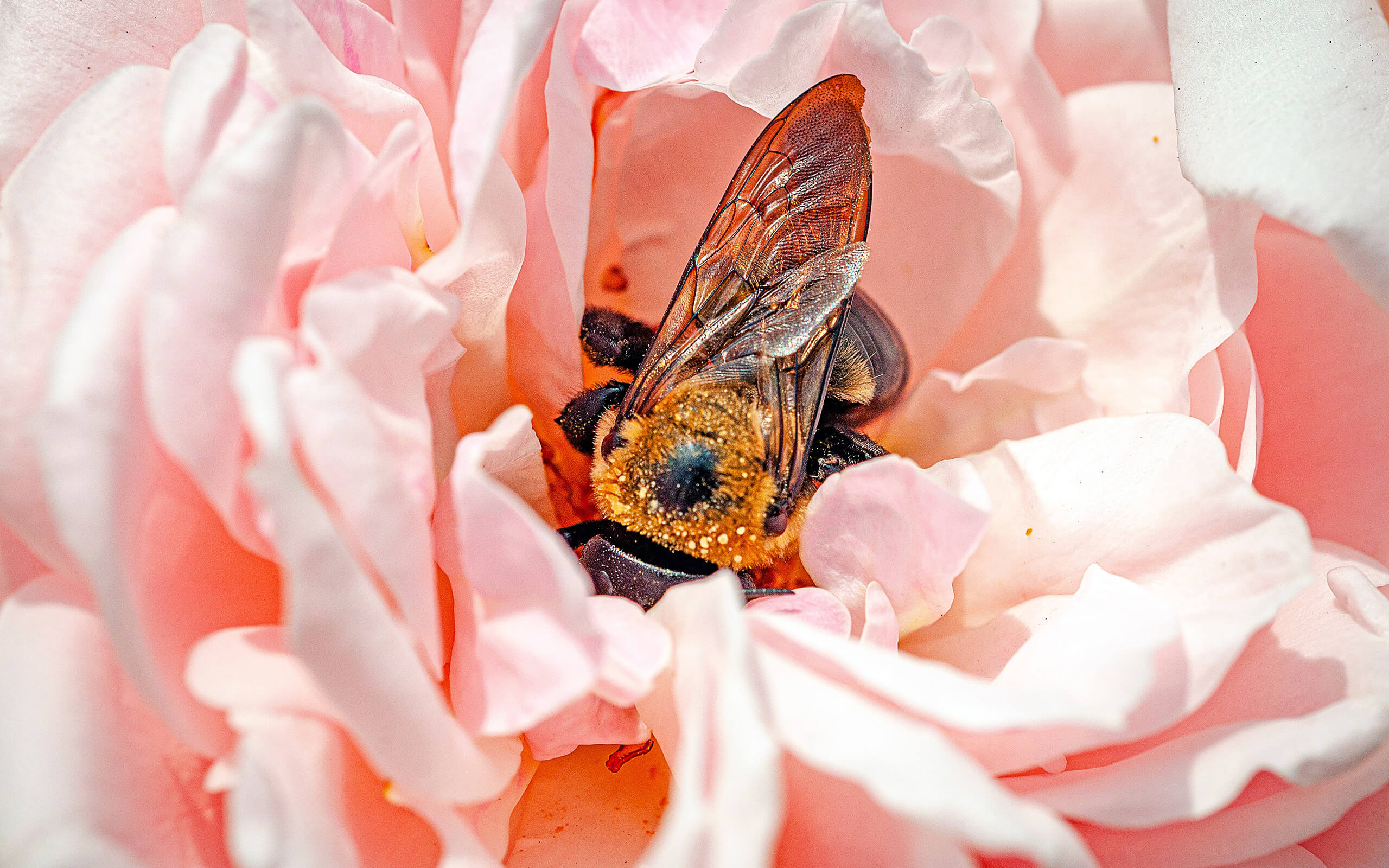 Homey bee sitting on a pink rose