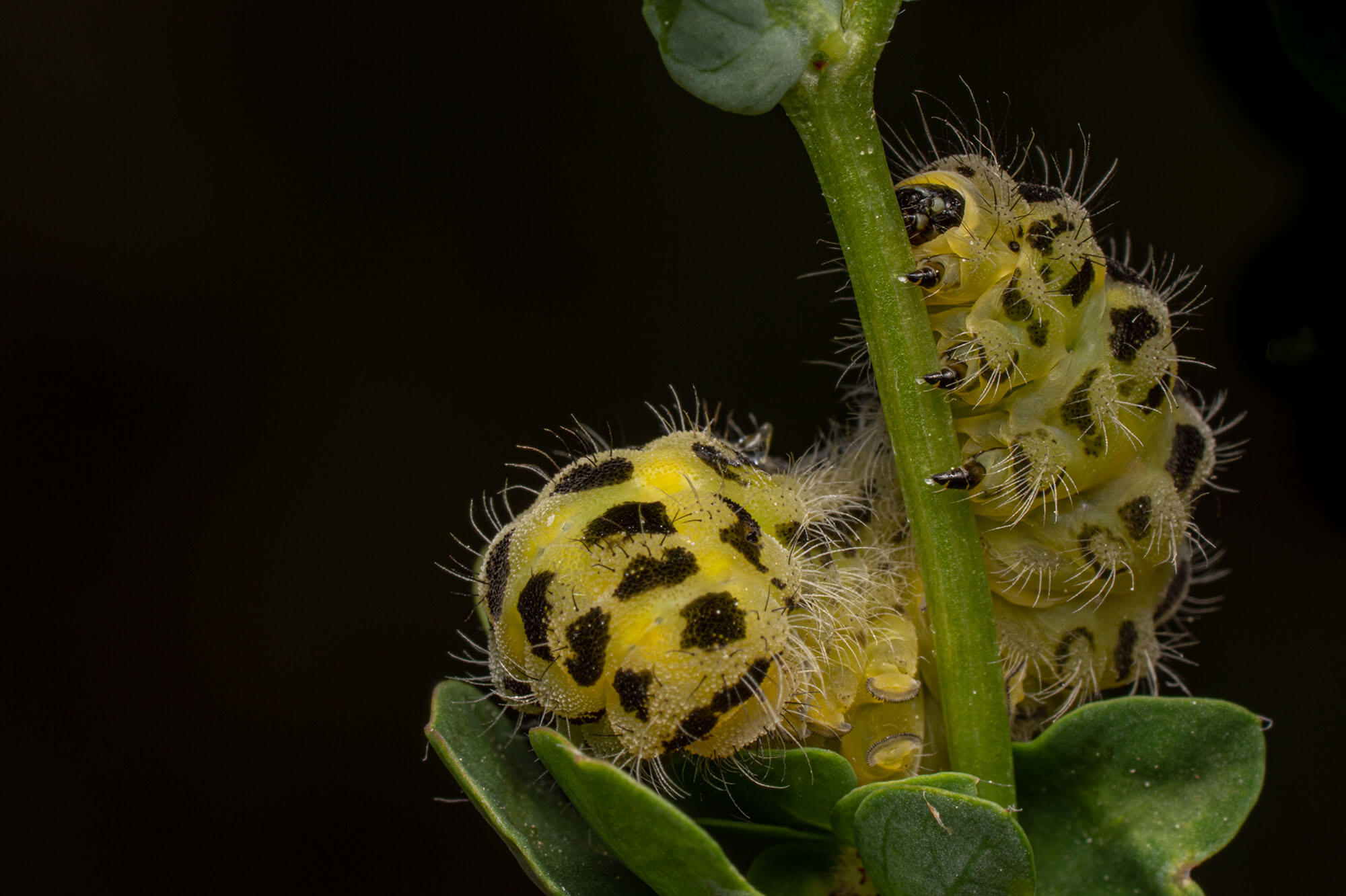 A yellow and black caterpillar eating a leaf magnified on a black background