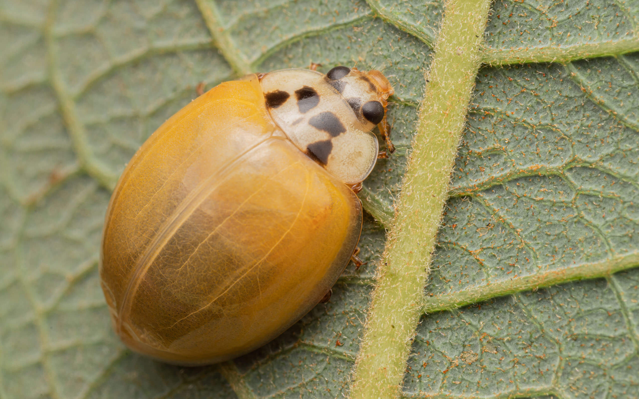 A picture of a yellow beetle on a leaf