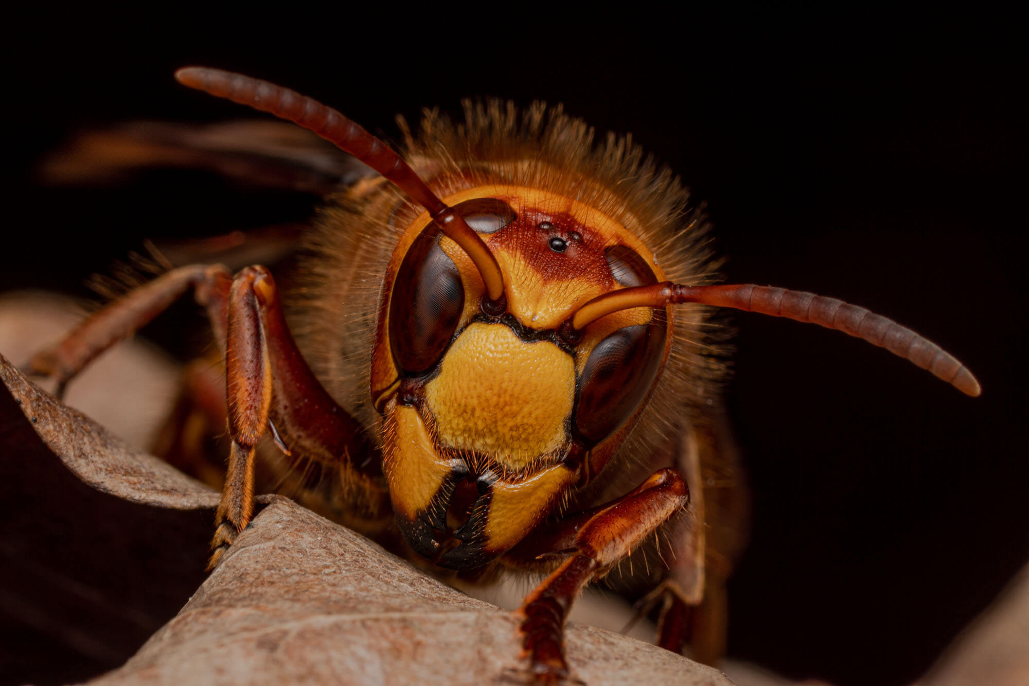 A close up of a wasp sitting on a brown leaf with a black background