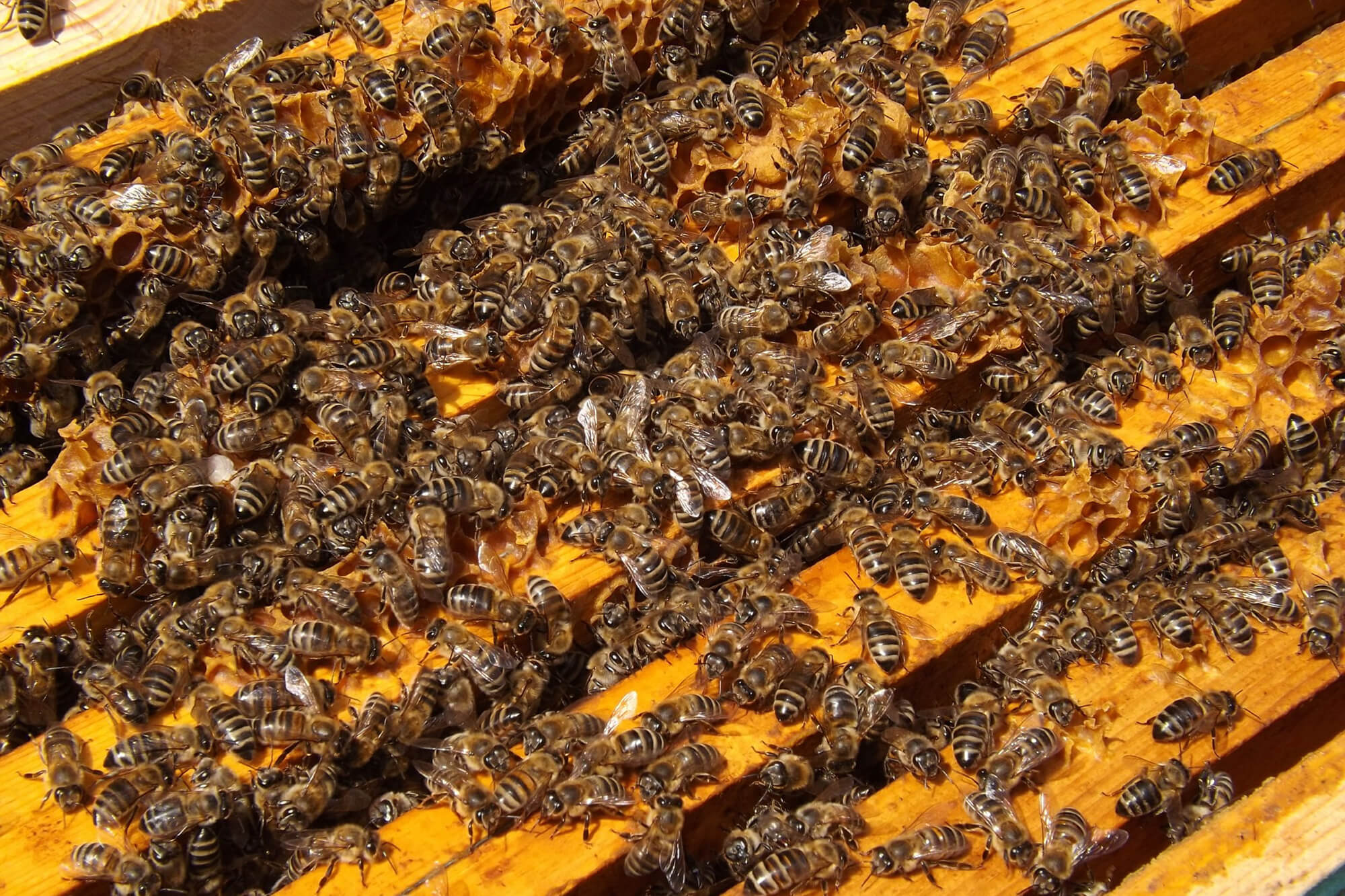 A colony of honeybees working on bee hive