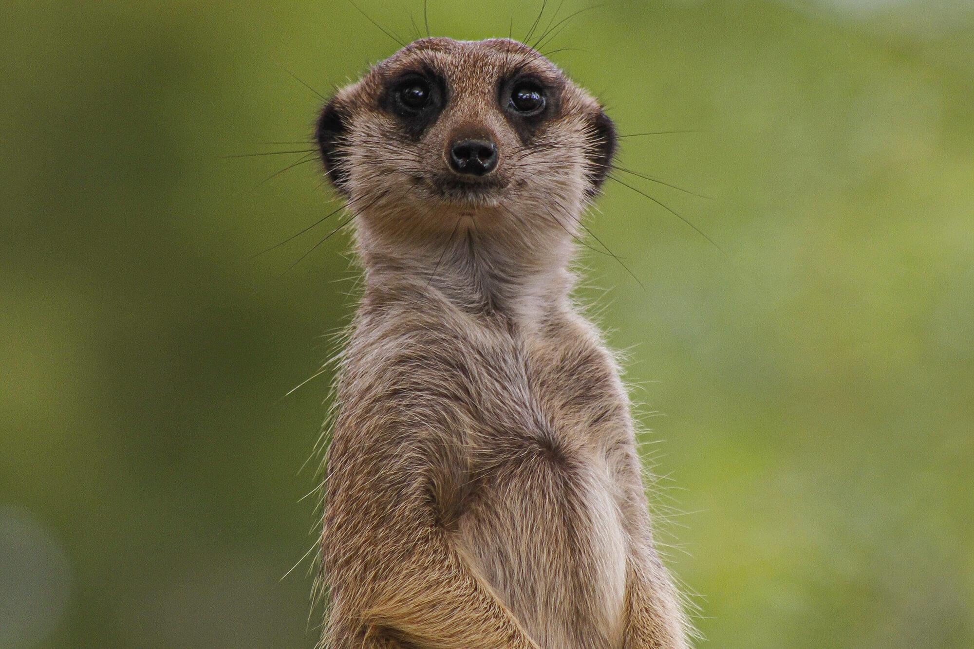 A meerkat stood up looking at the camera