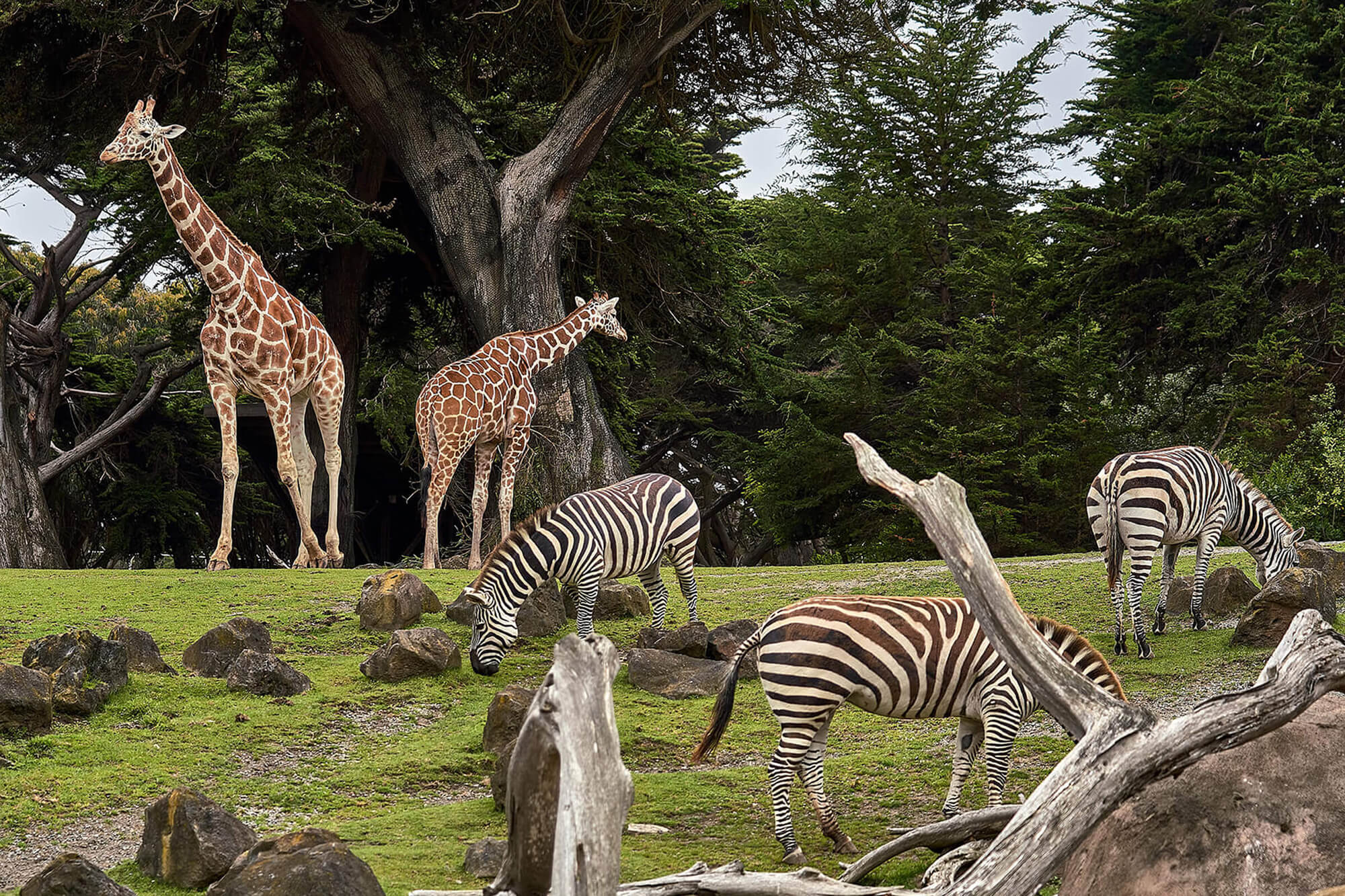 Giraffes and zebras grazing in a zoo