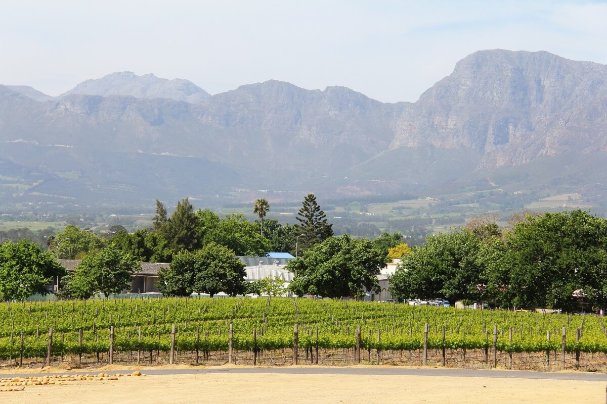 a South African vineyard under Table Mountain