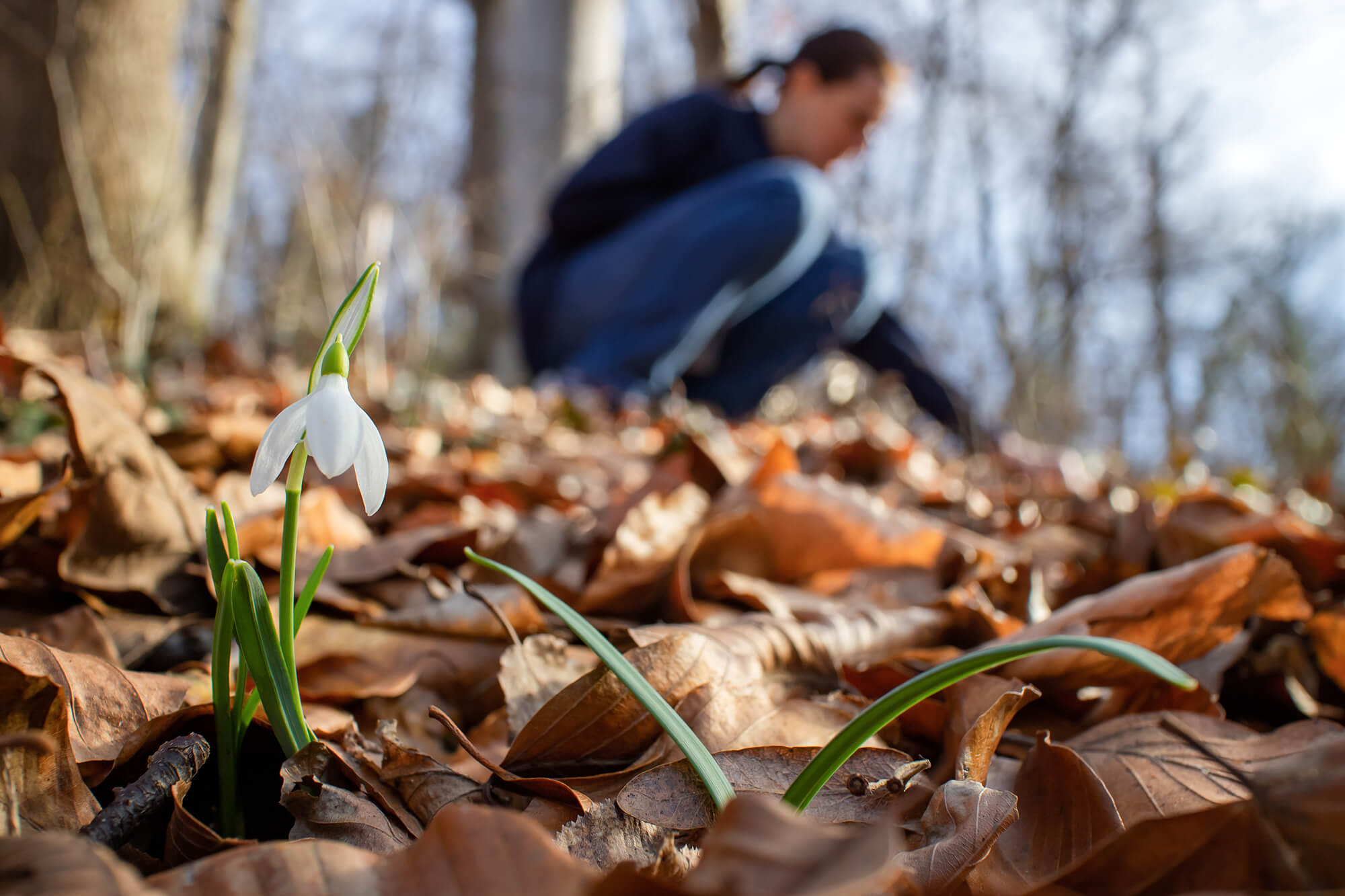 A snowdrop surrounded by leaves