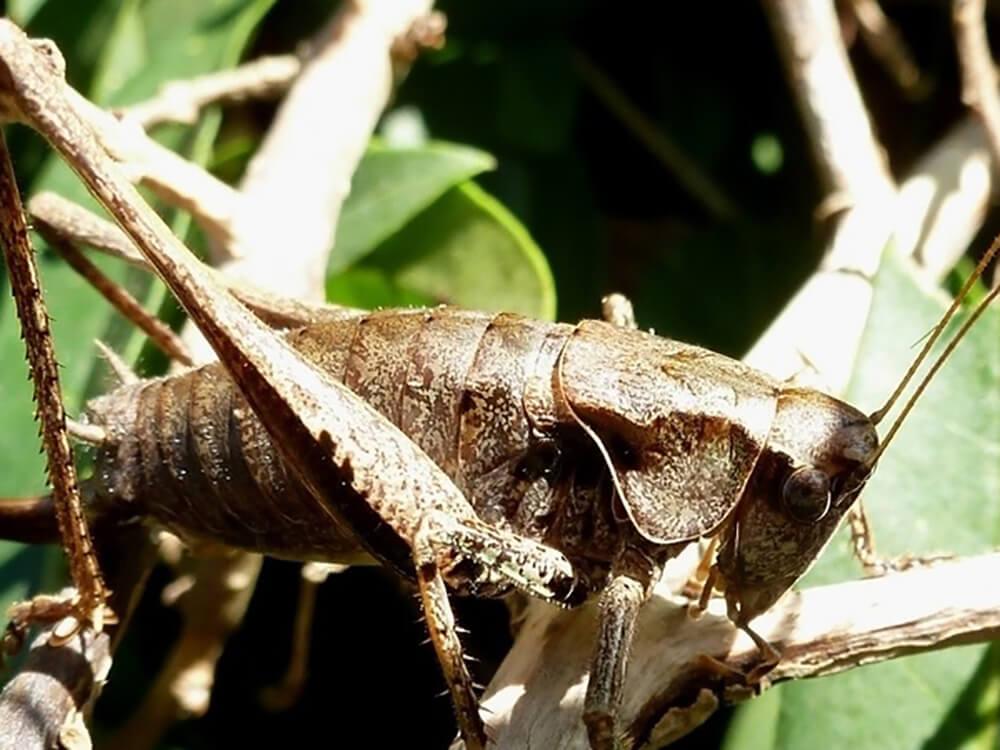 A bush-cricket on a branch