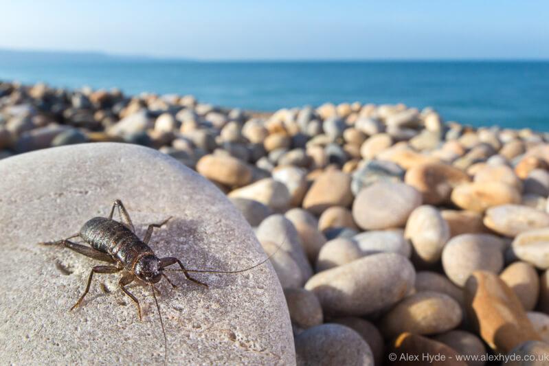 cricket ona beach
