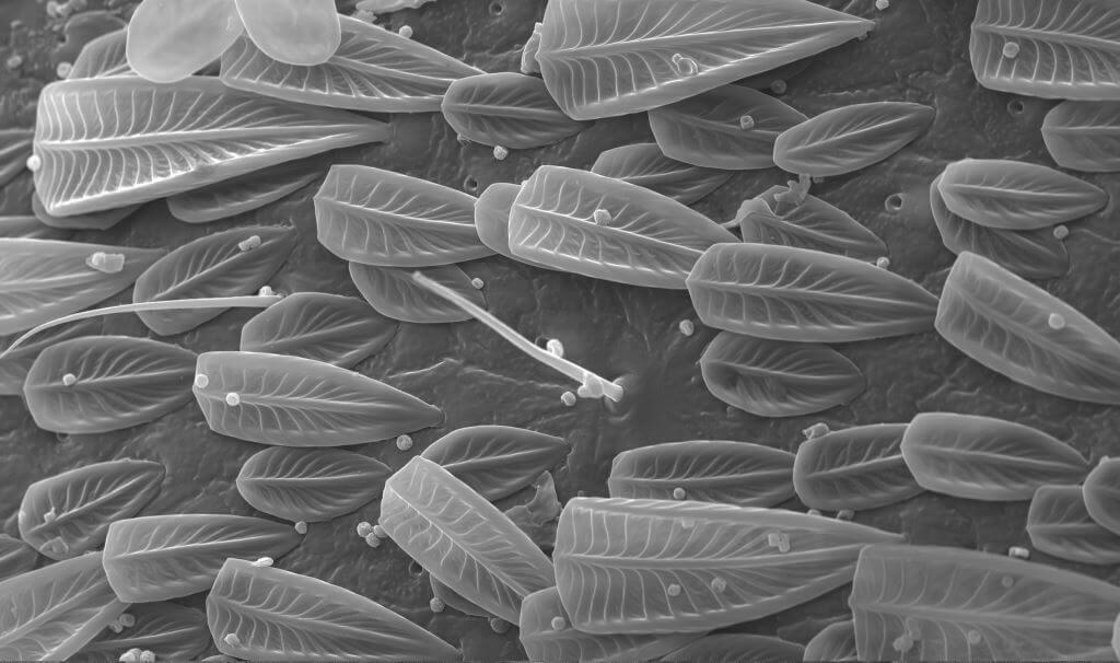 cricket microscope