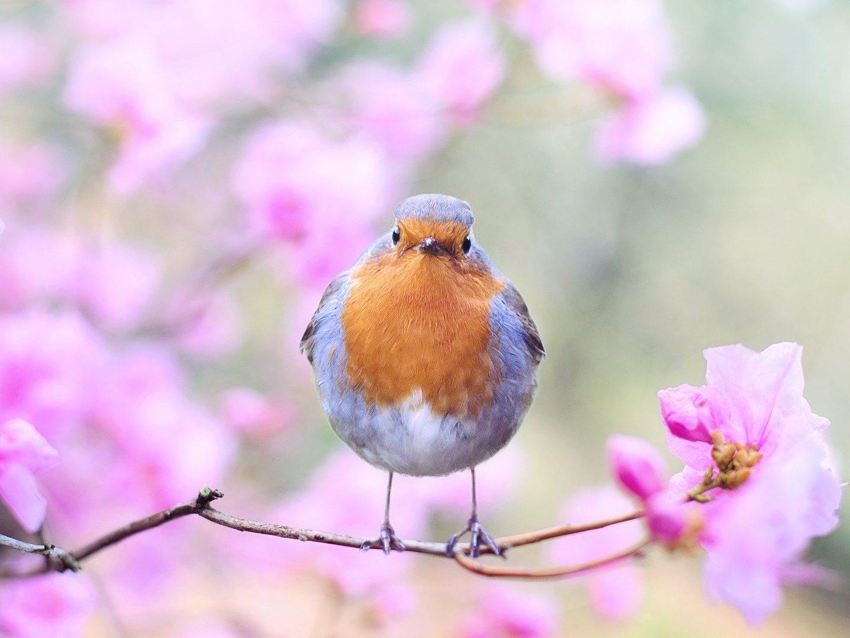A Robbin sitting on a Cherry Blossom twig