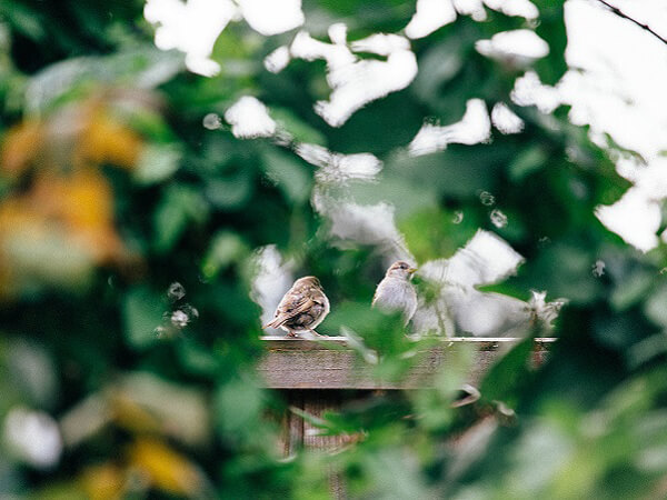 Out of focus bushes frame two Sparrows sat on top of garden fence