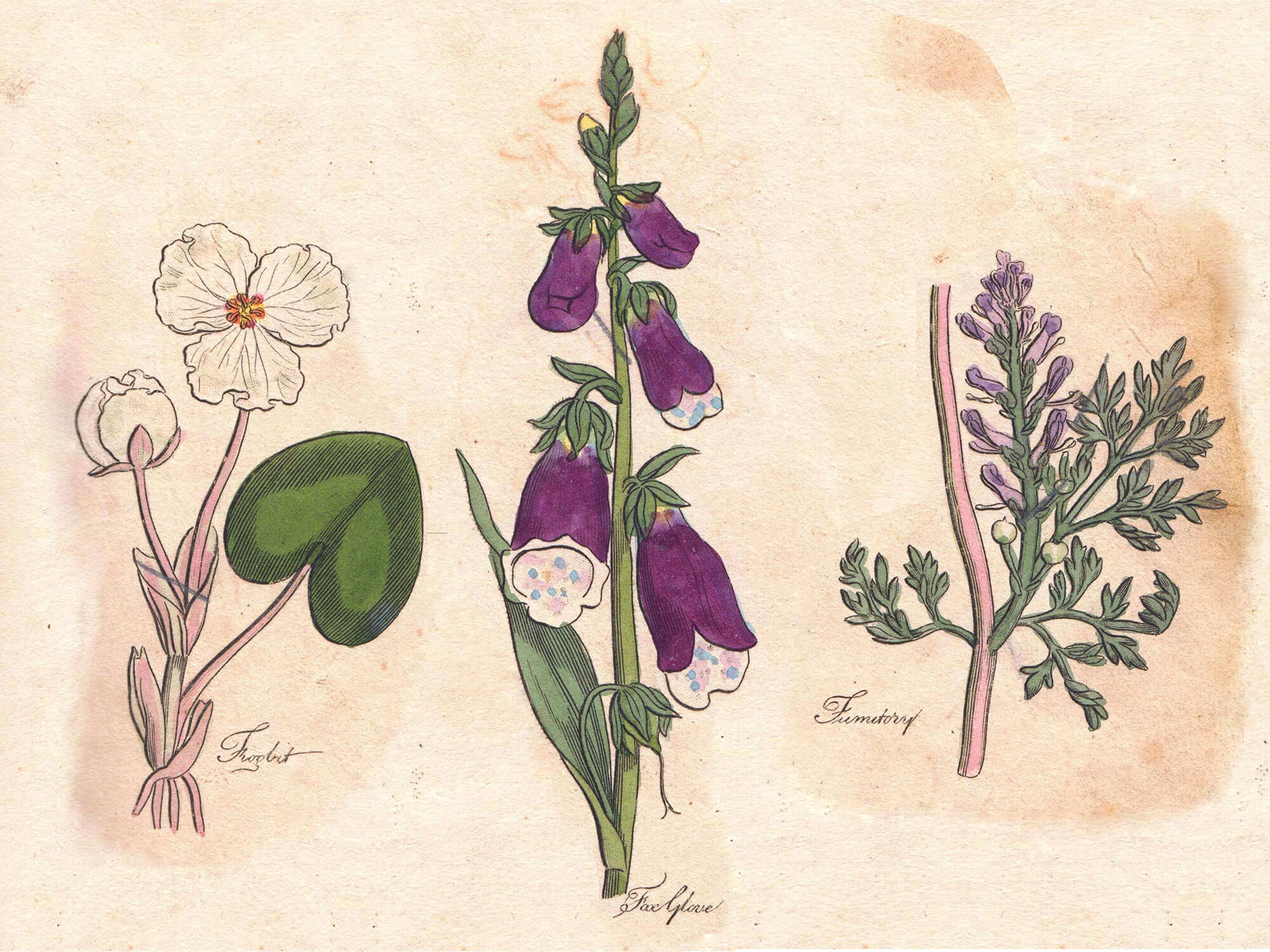 a sketch of a floxglove, frog bit and fumitory